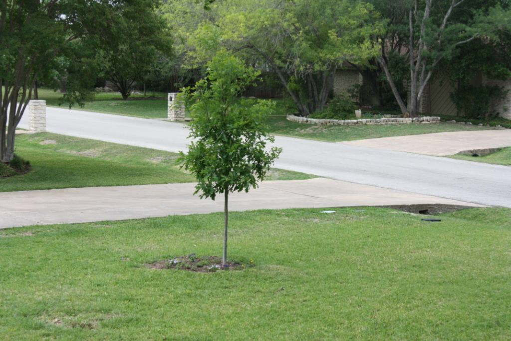 Red oak replacement bur oak 2009